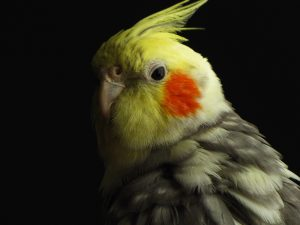 A portrait of colorful parrot on a black backgroung.