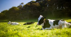 Sitting cows in the grass.