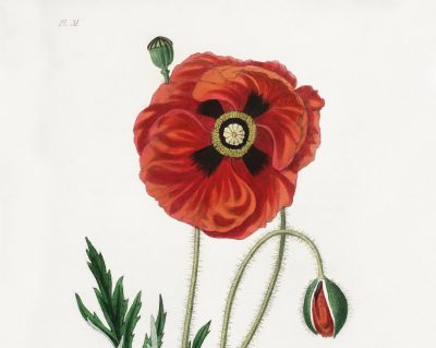 Oxygen in my tents   Amelia Rosselli's side of the story - Red Poppies