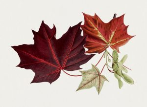 Maple Leaves - The road not taken