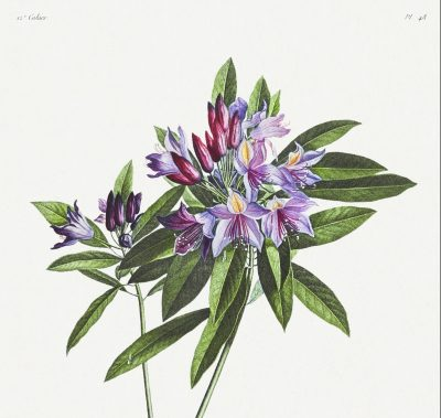Pontic Rhododendron - Beckett